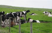 dairy-cattle-d-ranch