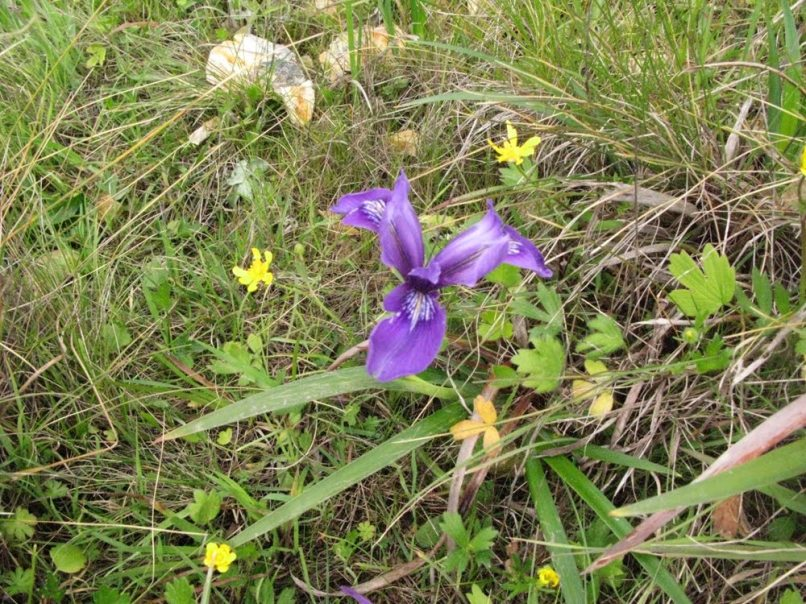 douglas-iris-buttercups