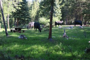 Cows in the campground,