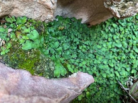 Gemini-greenBSC-liverworts